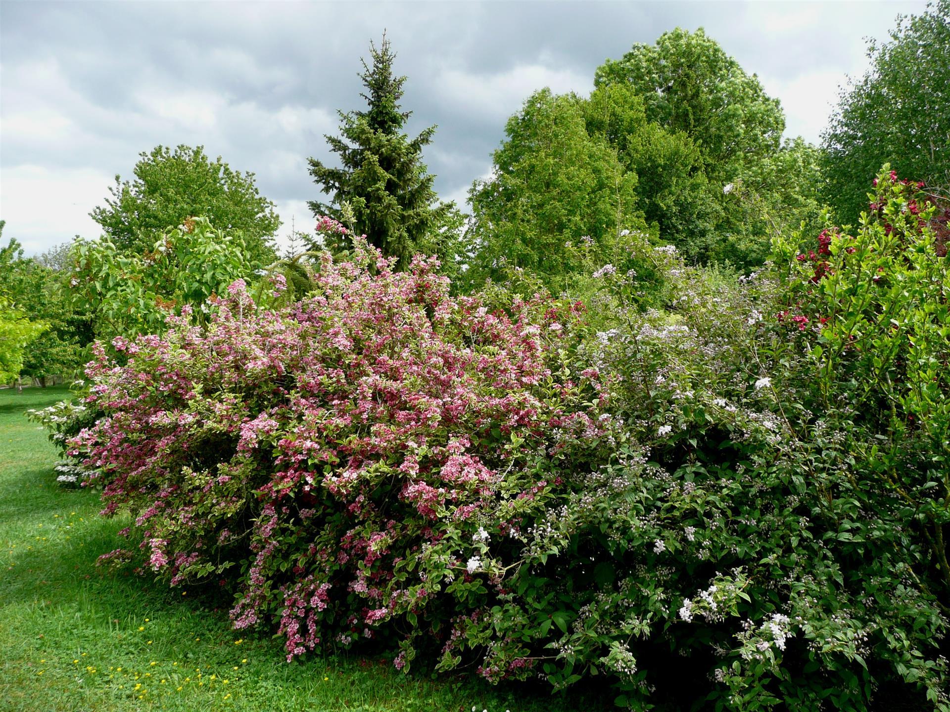 Taille Du Laurier Tin les associations de plantes