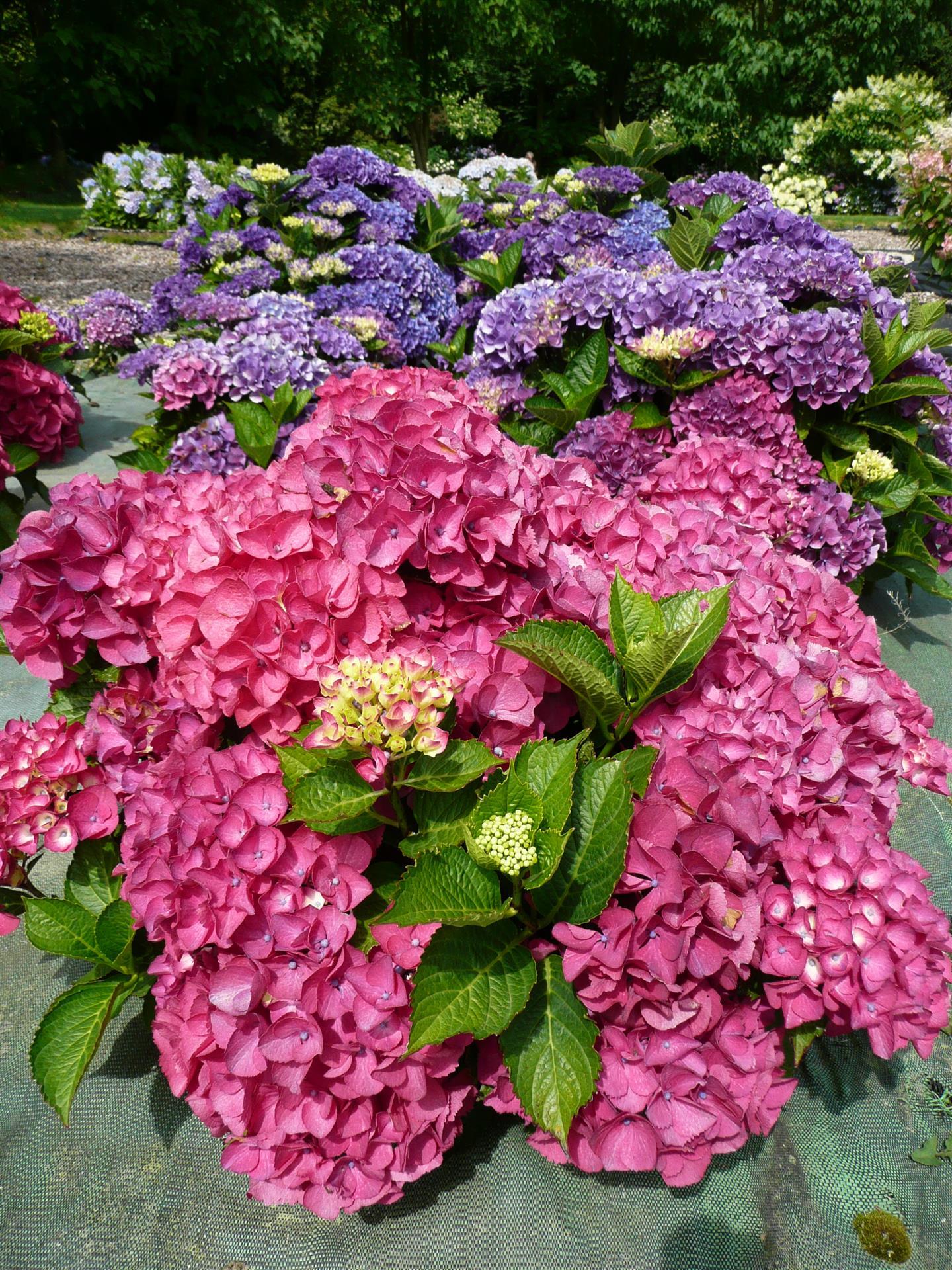 Arbuste Pour Terrain Calcaire l'hortensia, un arbuste coloré et simple d'entretien